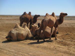Reise durch die Mongolei: Kamele in der Wüste Gobi